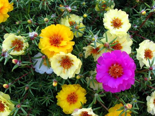 5 Portulaca Цветочный гороскоп
