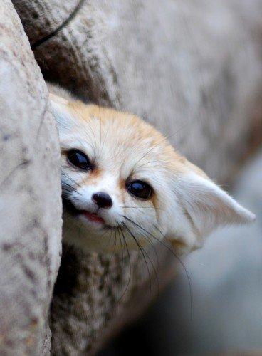 61 Фенек   самое удивительное животное из рода лисиц