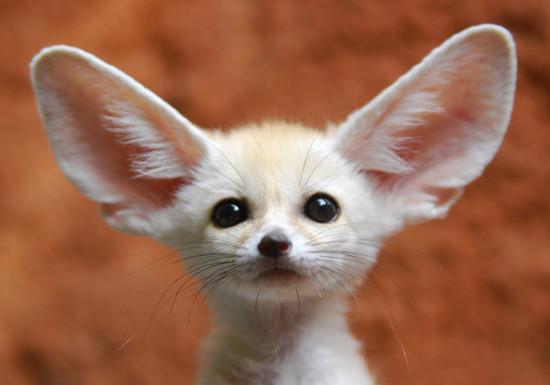71 550x385 Фенек   самое удивительное животное из рода лисиц
