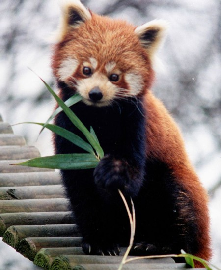 800px Ailurus fulgens RoterPanda LesserPanda 450x550 Красная панда