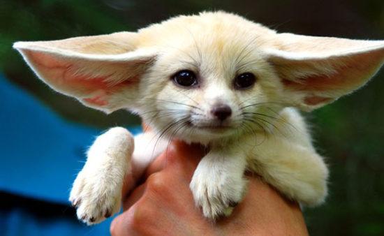 82 550x338 Фенек   самое удивительное животное из рода лисиц