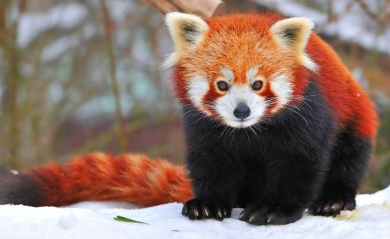 BInvb5WW r8 550x337 Красная панда