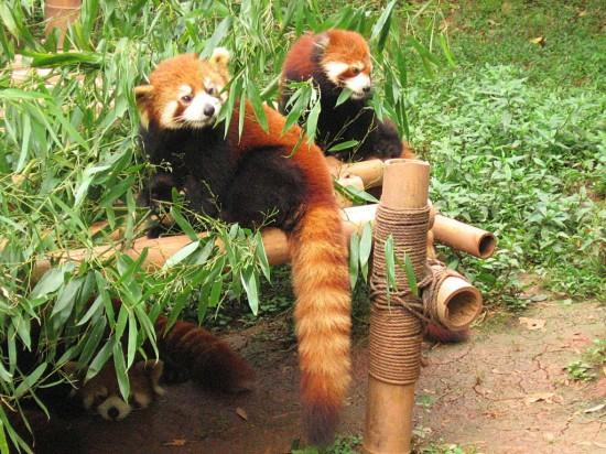Chengdu firefox d03 550x412 Красная панда