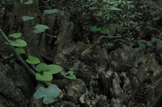 DSC 4214 550x365 Мадагаскар, заповедник Цинжи дю Бемараха