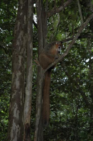 DSC 4305 365x550 Мадагаскар, заповедник Цинжи дю Бемараха