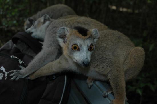 DSC 4319 550x365 Мадагаскар, заповедник Цинжи дю Бемараха