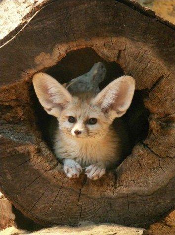 Fenek fennec fox 14 Фенек   самое удивительное животное из рода лисиц
