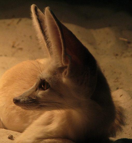 Fenek fennec fox 25 509x550 Фенек   самое удивительное животное из рода лисиц