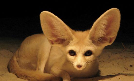 Fenek fennec fox 26 550x332 Фенек   самое удивительное животное из рода лисиц