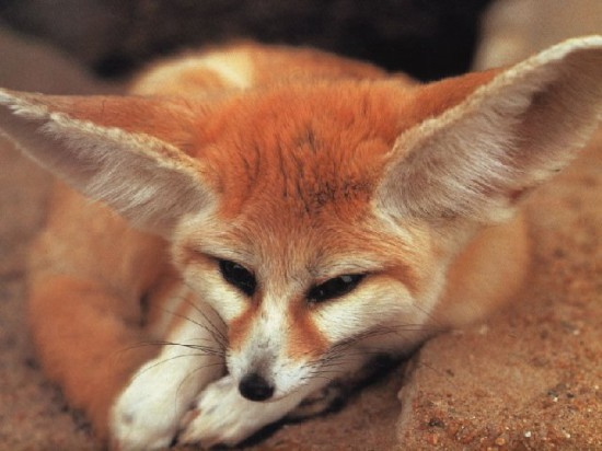 Fenek fennec fox 27 550x412 Фенек   самое удивительное животное из рода лисиц