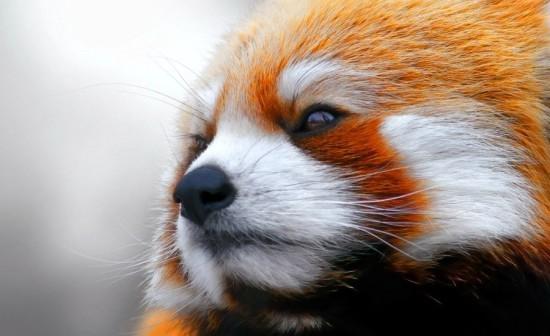 Im em7uUeXE 550x336 Красная панда