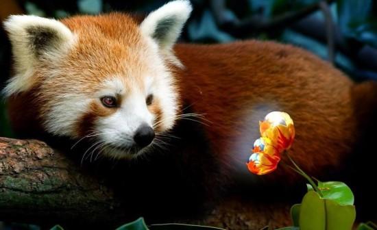 OczdLJa9 OQ 550x336 Красная панда
