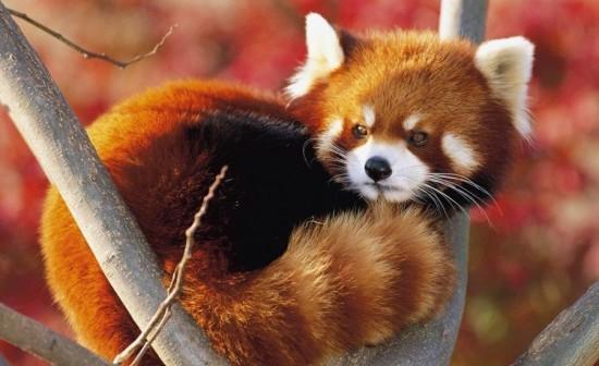 PzwtrzzDtDc 550x336 Красная панда