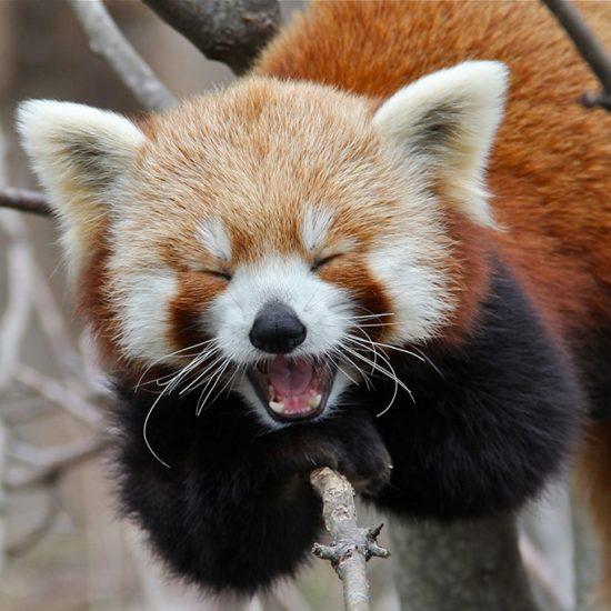 UUdSAH15Oyw 550x550 Красная панда