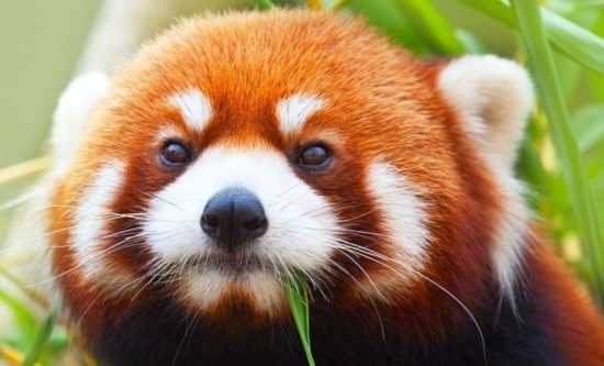 ZklK XbuqYI 550x333 Красная панда