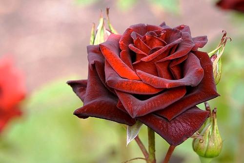 black rose Цветочный гороскоп