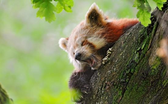 is1HtcNuXJ4 550x343 Красная панда