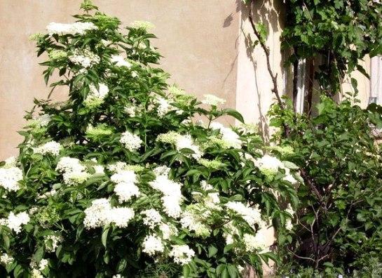 kvas iz tsvetkov buzinyi 2 Квас из цветков бузины