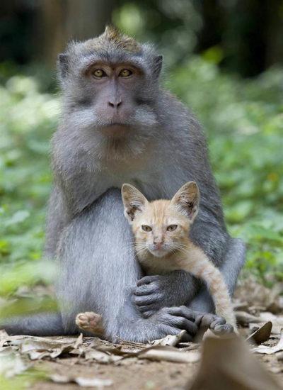 monkey cat 2 400x550 Кошачья мама
