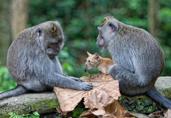 monkey cat 4 550x379 Кошачья мама