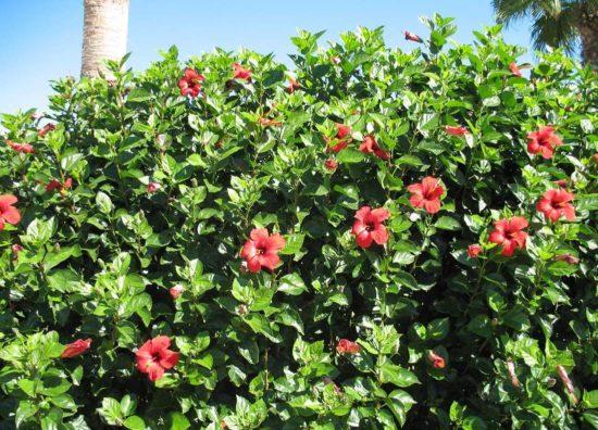 plants45 550x396 Гибискус (каркаде) для лечения простуды