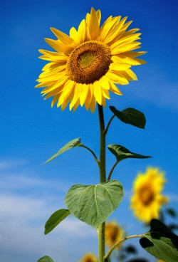 sunflower1 Цветочный гороскоп