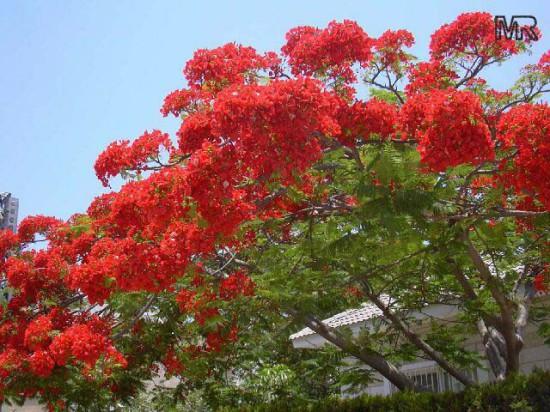 002 550x412 Огненное дерево или Делоникс королевский