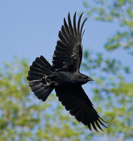 350D 051409 Crow 520x550 Зороастрийский гороскоп. Ворон