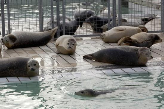 3ia5AdOWudo 550x366 Детский дом для тюленей сирот в Голландии
