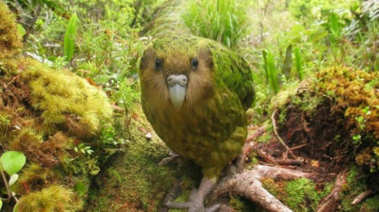 4e6f6b00 550x309 Объявились попугаи, пропавшие более века назад