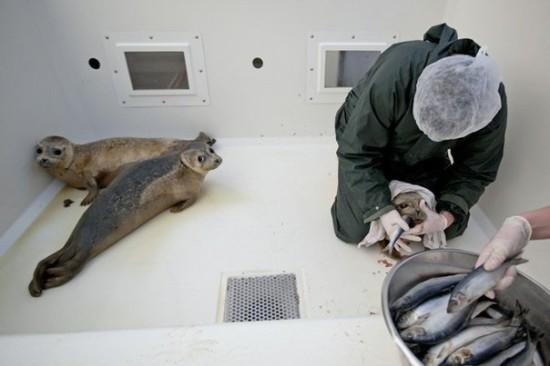 5L9ZotDNjy0 550x366 Детский дом для тюленей сирот в Голландии