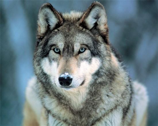 5d49d42e5c63 550x440 Зороастрийский гороскоп. Волк