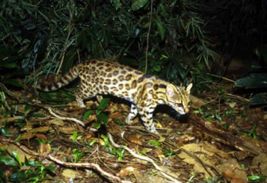 959447f3 550x377 В Бразилии подтвердили существование нового вида кошек