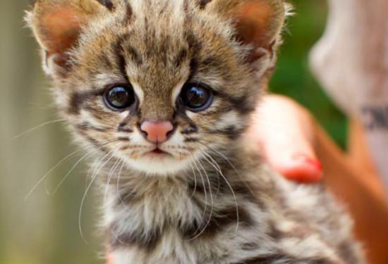 95dde9c6 550x375 В Бразилии подтвердили существование нового вида кошек
