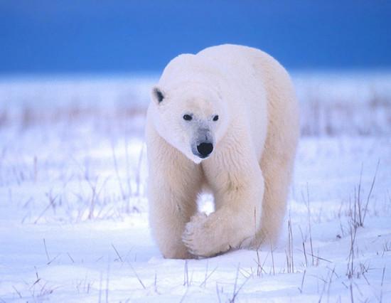 Belyj medved 14 550x426 Зороастрийский гороскоп. Белый Медведь