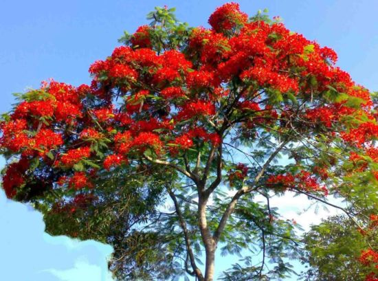 CQKkfpPlThI 550x409 Огненное дерево или Делоникс королевский
