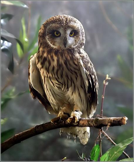 Owl2 457x550 Зороастрийский гороскоп. Сова