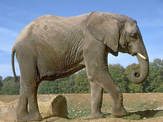 elephants 4 550x412 Зороастрийский гороскоп. Слон