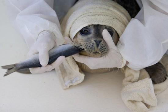 lJs1KpA2PeA 550x366 Детский дом для тюленей сирот в Голландии