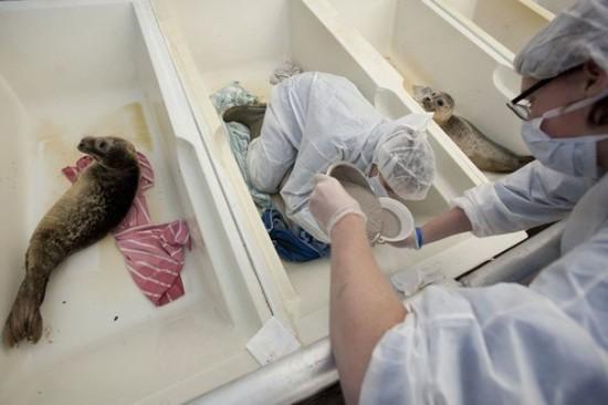 lzg6jIU8FKM 550x366 Детский дом для тюленей сирот в Голландии