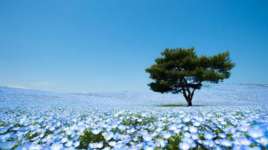 nemophilas hitachi park 1 550x308 Голубые поля Японии