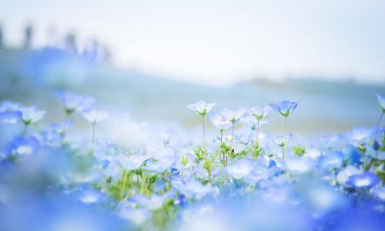 nemophilas hitachi park 10 550x331 Голубые поля Японии