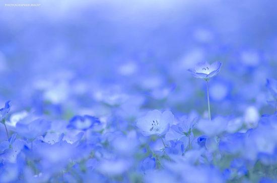 nemophilas hitachi park 3 550x364 Голубые поля Японии