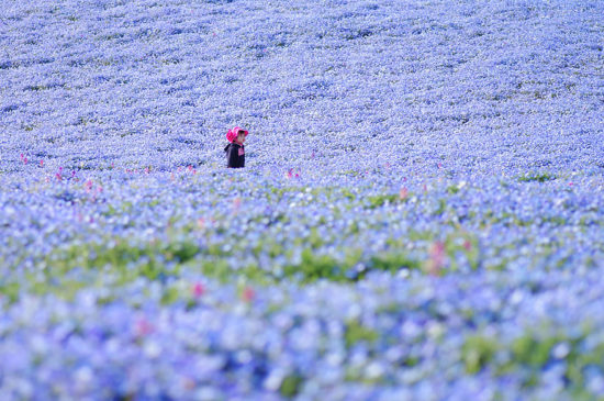 nemophilas hitachi park 4 550x365 Голубые поля Японии