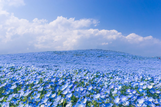 nemophilas hitachi park 5 550x365 Голубые поля Японии