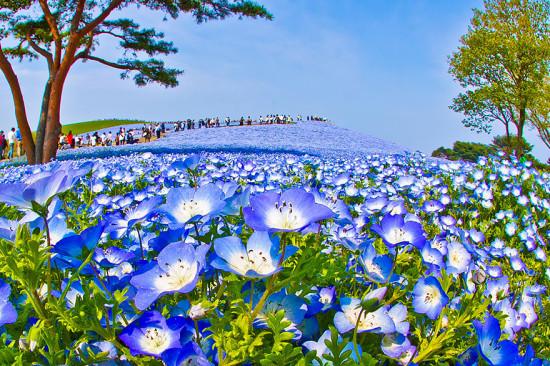 nemophilas hitachi park 7 550x366 Голубые поля Японии