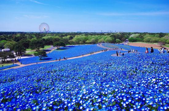 nemophilas hitachi park 8 550x364 Голубые поля Японии