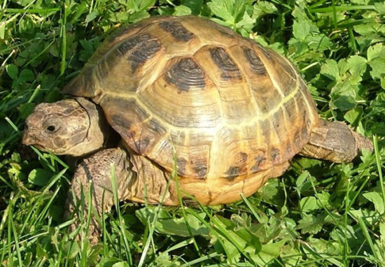 turtle care 2 550x382 Зороастрийский гороскоп. Черепаха