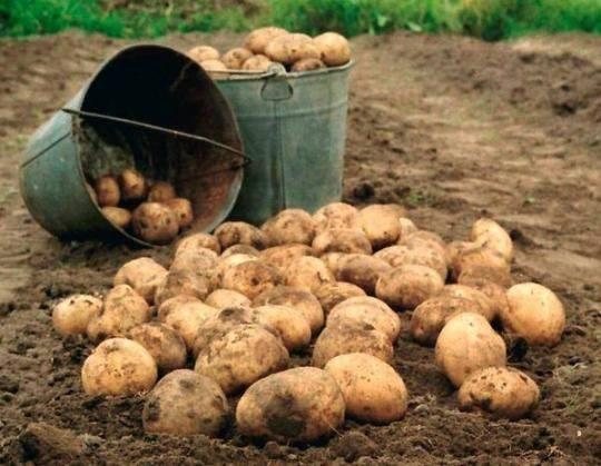 19 kartofel Самые полезные продукты времени сбора урожая