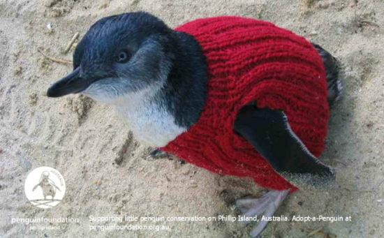 8993d6d4 550x341 Пострадавших от разливов нефти пингвинов одевают в свитеры